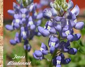 TEXAS BLUEBONNET ~ Historical ~ Lupinus Texensis  ~ Sweetly scented, lavender-royal blue. State Flower of Texas. Easy To Grow ~ 15 SEEDS!