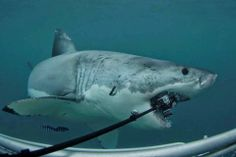 Outdoors 720: Great white shark bites expensive camera like an a...