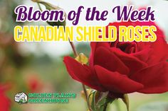 Golden Plains Greenhouse, Bloom of the Week: Canadian Shield Roses in honour of Canada's Anniverysary House Plants, Planters, Roses, Bloom, Gardening, Green, Home Plants, Pink, Indoor House Plants