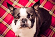Betty the Boston ... love this face!