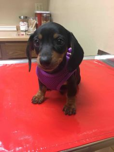 This is Frankie our new sausage dog today was her first vet visit with mom!