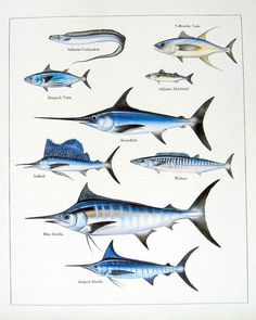 Atlantic Cutlassfish, Yelowfin Tuna, Atlantic Mackarel, Swordfish, Wahoo, Striped Marlin, Blue Marlin, Sailfish, Skipjack Tuna..........clockwise from upper left corner....via My Sunshine Vintage on ETSY
