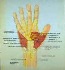 Planche anatomique innervation