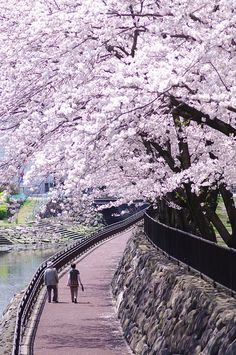 Cherry Blossom Spring Promenade Walk in Oita-shi, Oita Prefecture, Japan