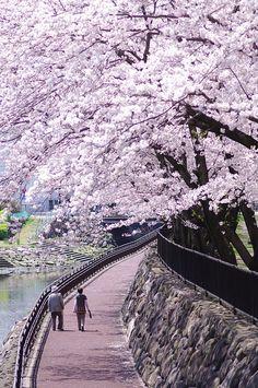 Cherry Blossom Spring Promenade Walk in Oita-shi, Oita Prefecture, Japan