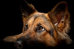 A pinner wrote:I LOVE my GSD!!! I have to agree! GSDs are the best!!!! me too