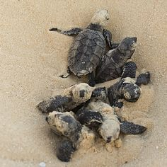 If you are looking for an amazing summer volunteer opportunity, I highly recommend Archelon, the sea turtle protection society of greece. You get to save these little guys and live a pretty awesome beach life!