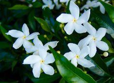 1000 ideas about trachelospermum jasminoides on pinterest - Taille du jasmin etoile ...
