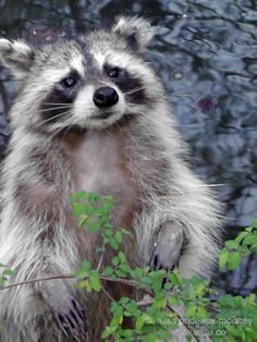 raccoon    how darn cute is this
