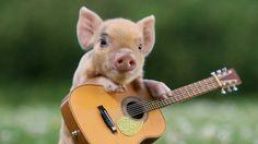 Pig, guitar, cute animal >> HD Wallpaper, get it now!