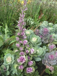 Ornamental kale--love this - almost believe it to be ornamental brussel sprouts!!