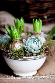 Hyacinths & echiveria Styling & photo by Minna Mercke Schmidt / Blomsterverkstad