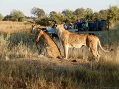 Game drive Okavango Delta, Botswana Okavango Delta, Victoria Falls, Safari, African, Tours, Game, Gaming, Toy, Games
