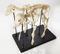 Two-Headed Calf and Skeleton.  This is an absolutely amazing pair of pieces from one specimen: a jet-black two-headed calf mounted for display alongside its own skeleton!