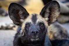 Wild dog in the Savute Channel Wild Dogs, Wilderness, Safari, Wildlife, Channel, Camping, Adventure, Animals, Campsite