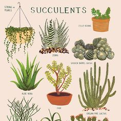 Nature Composting Impression de plantes grasses - ∆ print of various succulent plants ∆ Printed on soft white, cotton paper ∆ Illustrated in gouache by Keiko Brodeur ∆ Printed in the USA Cacti And Succulents, Planting Succulents, Planting Flowers, Types Of Succulents, Illustration Botanique, Botanical Illustration, Echeveria, Air Plants, Indoor Plants