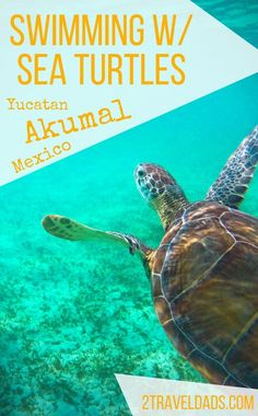 Swimming with sea turtles in Akumal Bay, between Playa del Carmen and Cancun, is an amazing encounter with nature, including coral reefs and stingrays. 2traveldads.com