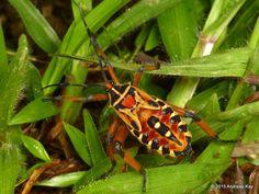 Coreid bug nymph, Thasus acutangulus? from Ecuador: www.flickr.com/andreaskay/albums