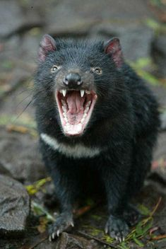 OK saw a tasmanian devil in Australia and they have so much energy they just run around in circles.