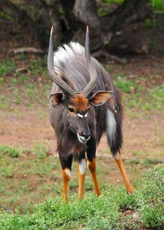 Nyala Antelope -  I did not realize these creatures were real ...