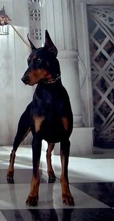 The Doberman Pinscher is among the most popular breed of dogs in the world. Known for its intelligence and loyalty, the Pinscher is both a police- favorite Big Dogs, I Love Dogs, Cute Dogs, Dogs And Puppies, Doggies, Merle Chihuahua, Doberman Love, Doberman Pinscher Dog, Beautiful Dogs