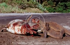 Komodo Dragon Attack | Komodo-Warane fressen toten Delfin / Komodo dragons eating dead ...