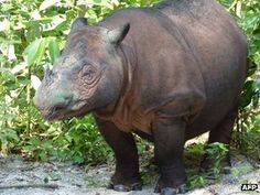 """A Sumatran rhinoceros - one of the world's most endangered species - has given birth at a sanctuary in Indonesia.  Conservationists at the Sumatran Rhino Sanctuary in Way Kambas National Park said the mother, Ratu, and her male baby were both """"very well"""".  It is only the fourth recorded case of a Sumatran rhino being born in captivity in a century.  Ratu's pregnancy lasted about 16 months    There are thought to be fewer than 200 alive in Indonesia and Malaysia."""