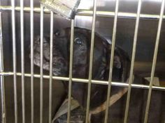 A1644603 - URGENT - located at CITY OF LOS ANGELES SOUTH LA ANIMAL SHELTER in Los Angeles, CA - Adult Female Chihuahua Mix