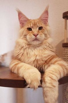 http://www.mainecoonguide.com/characteristics/ - Tap the link now to see all of our cool cat collections!