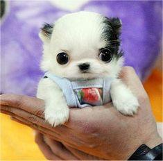 Teacup Puppies!