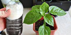 Nejvýživnější hnojivo pro sazenice rajčat a paprik všech dob. Doplní absolutně všechny potřebné živiny Growing Peonies, Natural Garden, Farm Gardens, Glass Of Milk, Wedding Boxes, Hacks, Sodas, Red Peppers, Plants