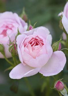 Rosa Sceptr'd Isle has a powerful myrrh fragrance. Credit: Clive Nichols