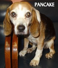 ADOPTED! Tag# 13096 Name is Pancake Beagle Approx. 10 years old Female-unsure of spay Very friendly older gal who is full of love!  Located at 2396 W Genesee Street, Lapeer, Mi. For more information please call 810-667-0236. Adoption hrs M-F 9:30-12:00 & 12:30-4:15, Weds 9:30-12:00 & Sat 9:00-2:00  https://www.facebook.com/267166810020812/photos/a.945491218855031.1073742220.267166810020812/945493062188180/?type=3&theater
