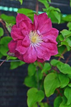 'Red Star' Clematis planted with Kilian Donahue Clematis