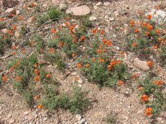 Native Plants of the Great Basin and Nearby: Sphaeralcea coccinea SCARLET GLOBE MALLOW
