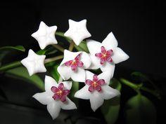 Hoya bella by kellycoolj