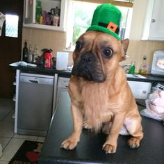 St Patrick is a French Bulldog ❤☘️