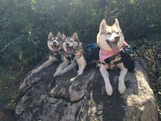 Kitten Rosie Hiking with the Husky Pack!