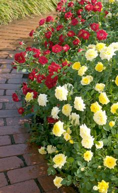 growing & caring for roses...