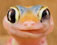 PetsLady's Pick: Cute Gecko Of The Day ... see more at PetsLady.com ... The FUN site for Animal Lovers