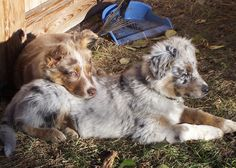 Cozy Elle and Gus Goats, Cozy, Animals, Animales, Animaux, Goat, Animal, Animais
