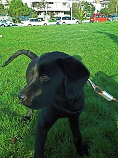 Badem - a black lab
