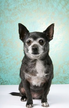 November is Adopt a Senior Dog Month! Older and Wiser: Why Senior Pets Are Special Chihuahua Love, Old Dogs, Shelter Dogs, Four Legged, Pet Care, Doge, Animal Rescue, Best Dogs, Pet Adoption