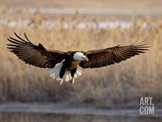 Bald Eagle (Haliaeetus Leucocephalus) in Flight on Final Approach, Farmington Bay, Utah, USA Photographic Print by James Hager at Art.com