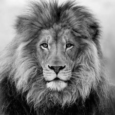 Black and white images of a lion