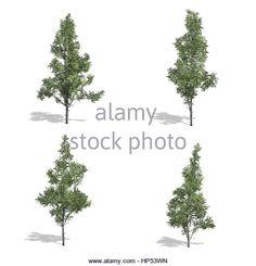 hegyi juhar fák, elszigetelt fehér háttérrel.  Stock fotó
