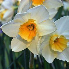 Die Narzisse 'Sweet Love' hat ein schönes, dunkles Blatt und trägt viele helle Blüten. Pflanzzeit ist im Herbst - online bestellbar bei www.fluwel.de