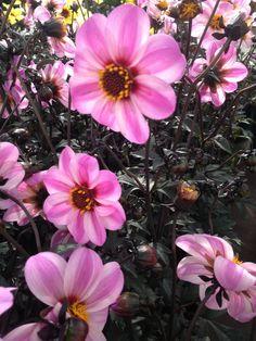 Gorgeous dahlias - here's a Mystic Dreamer Pink Dahlia