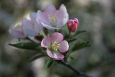 Mother Natures Impressionistic Touch donald wyman crab apple tree blossom spring