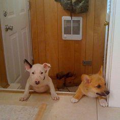 Baby bull terrier, baby corgi. BFF
